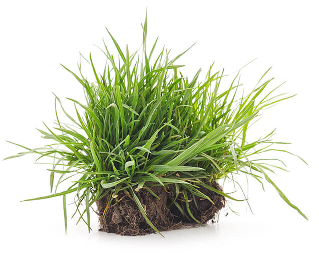 Clump of turf